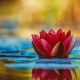 Using water for mindfulness - red lotus flower on oure water